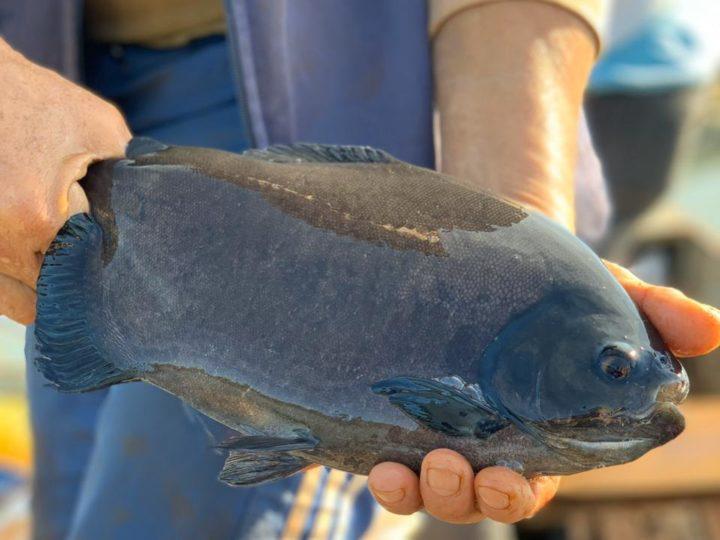 Famosa chef de cozinha leva peixe produzido no Lago de Itaipu a seu restaurante, em Curitiba